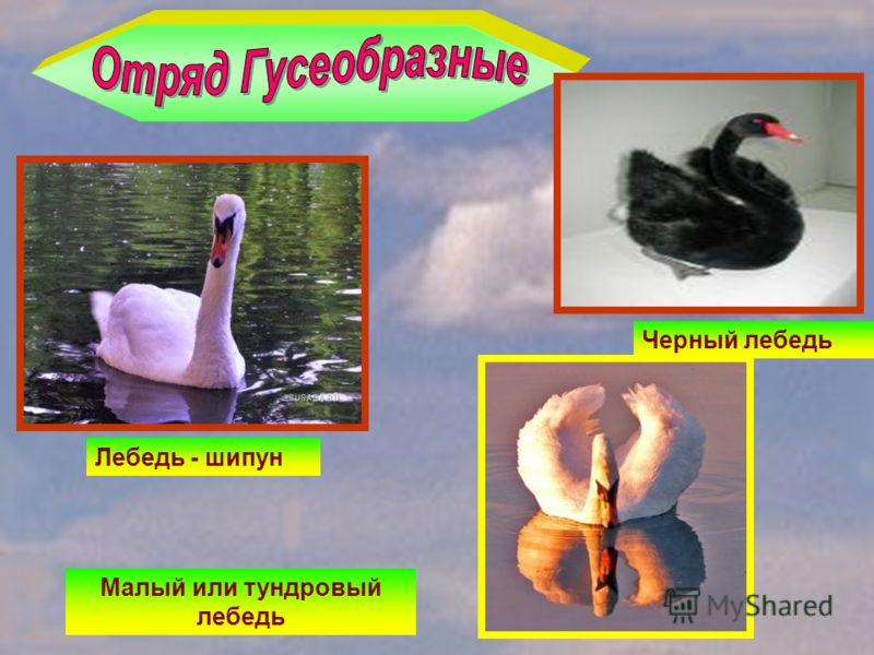 Лебедь - шипун Черный лебедь Малый или тундровый лебедь