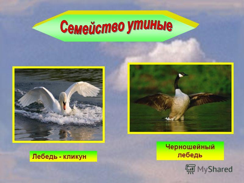 Лебедь - кликун Черношейный лебедь