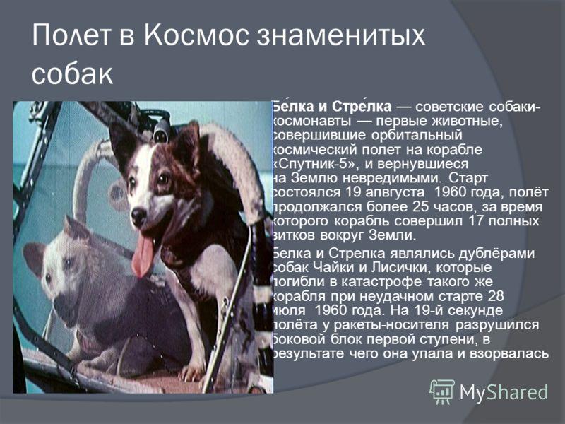 Полет в Космос знаменитых собак Бе́лка и Стре́лка советские собаки- космонавты первые животные, совершившие орбитальный космический полет на корабле «Спутник-5», и вернувшиеся на Землю невредимыми. Старт состоялся 19 апвгуста 1960 года, полёт продолж