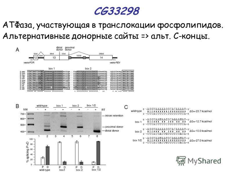 CG33298 АТФаза, участвующая в транслокации фосфолипидов. Альтернативные донорные сайты => альт. С-концы.