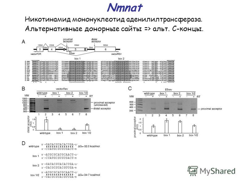 Nmnat Никотинамид мононуклеотид аденилилтрансфераза. Альтернативные донорные сайты => альт. С-концы.