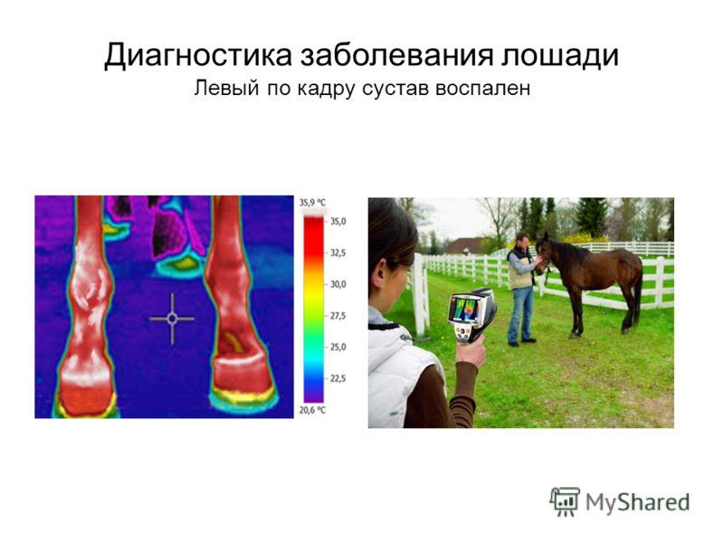 Диагностика заболевания лошади Левый по кадру сустав воспален