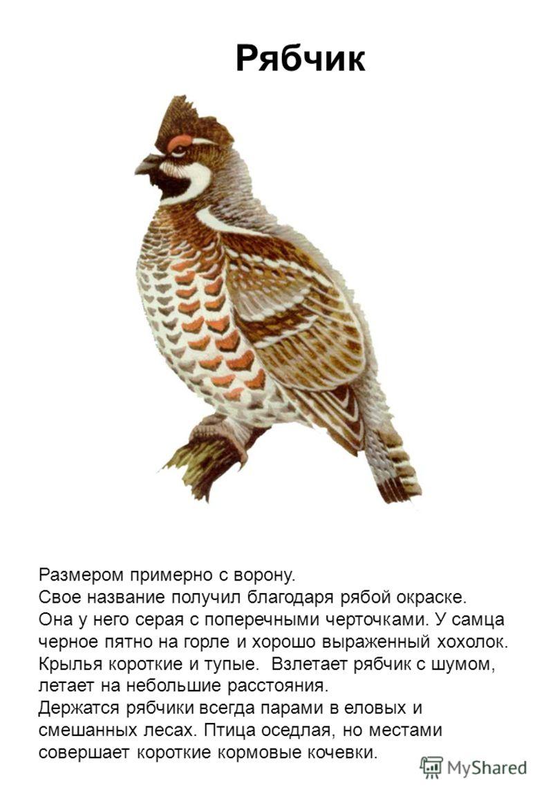 Рябчик Размером примерно с ворону. Свое название получил благодаря рябой окраске. Она у него серая с поперечными черточками. У самца черное пятно на горле и хорошо выраженный хохолок. Крылья короткие и тупые. Взлетает рябчик с шумом, летает на неболь