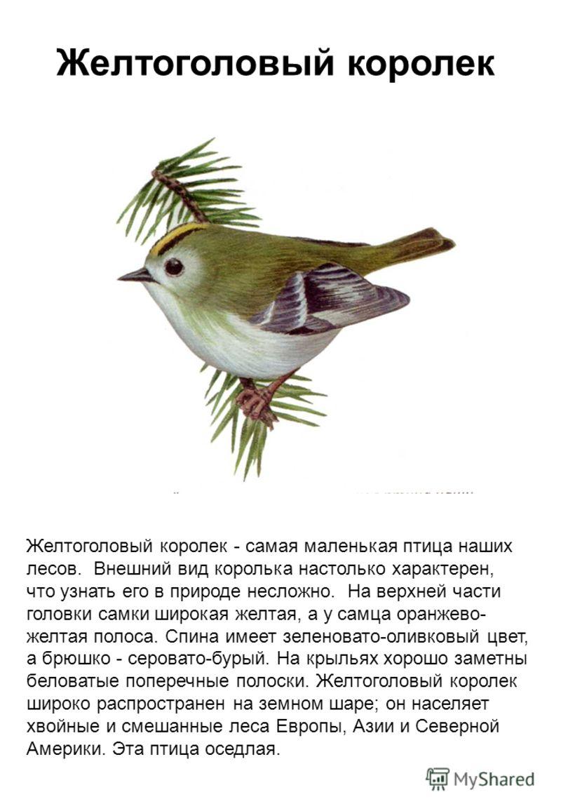 Желтоголовый королек Желтоголовый королек - самая маленькая птица наших лесов. Внешний вид королька настолько характерен, что узнать его в природе несложно. На верхней части головки самки широкая желтая, а у самца оранжево- желтая полоса. Спина имеет