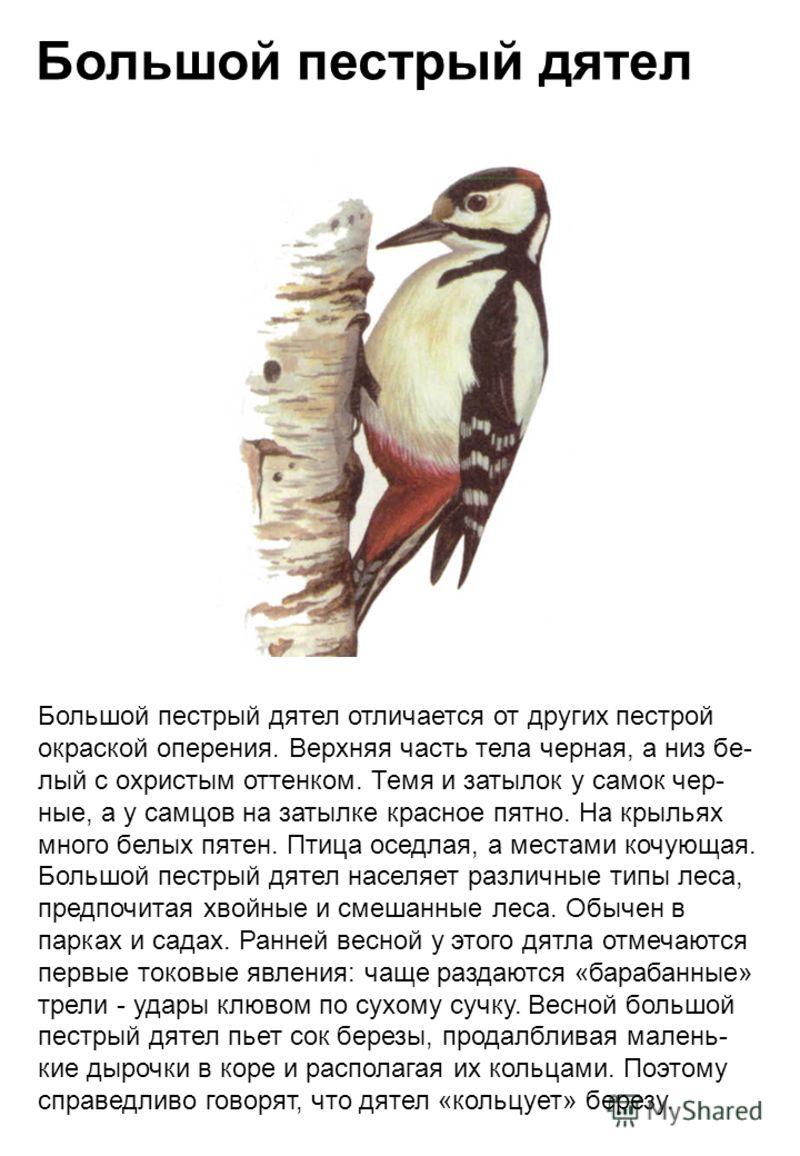 Большой пестрый дятел Большой пестрый дятел отличается от других пестрой окраской оперения. Верхняя часть тела черная, а низ бе- лый с охристым оттенком. Темя и затылок у самок чер- ные, а у самцов на затылке красное пятно. На крыльях много белых пят