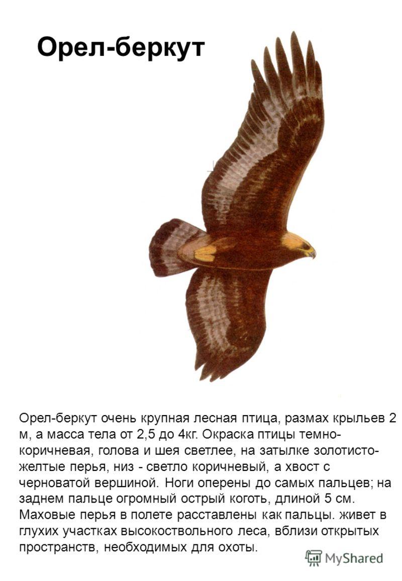 Орел-беркут очень крупная лесная птица, размах крыльев 2 м, а масса тела от 2,5 до 4кг. Окраска птицы темно- коричневая, голова и шея светлее, на затылке золотисто- желтые перья, низ - светло коричневый, а хвост с черноватой вершиной. Ноги оперены до