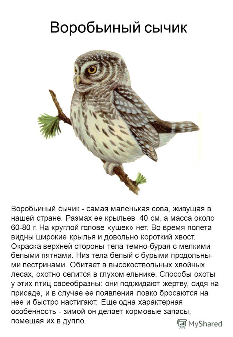 Воробьиный сычик - самая маленькая сова, живущая в нашей стране. Размах ее крыльев 40 см, а масса около 60-80 г. На круглой голове «ушек» нет. Во время полета видны широкие крылья и довольно короткий хвост. Окраска верхней стороны тела темно-бурая с