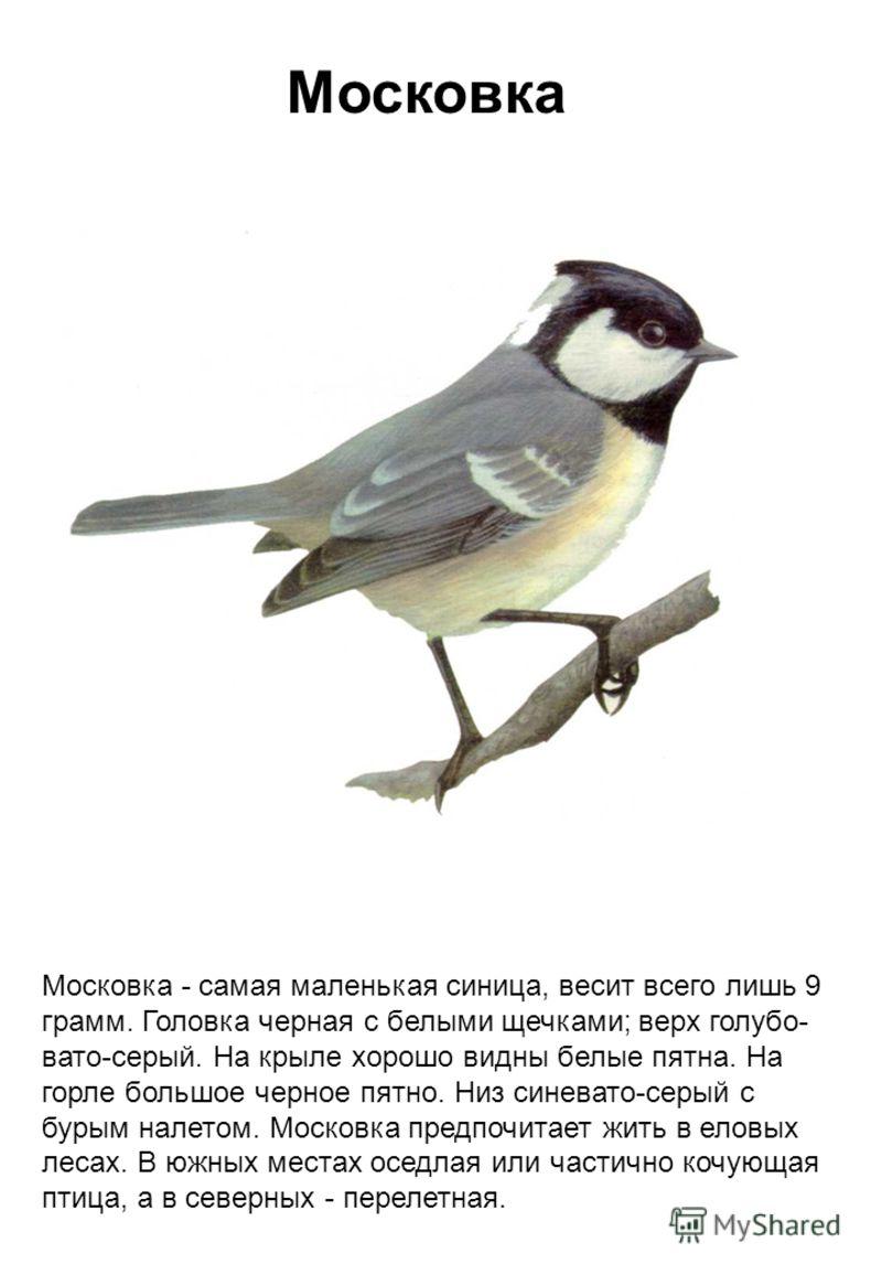 Московка Московка - самая маленькая синица, весит всего лишь 9 грамм. Головка черная с белыми щечками; верх голубо- вато-серый. На крыле хорошо видны белые пятна. На горле большое черное пятно. Низ синевато-серый с бурым налетом. Московка предпочитае