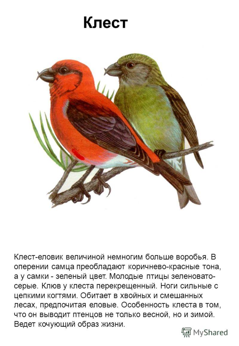 Клест Клест-еловик величиной немногим больше воробья. В оперении самца преобладают коричнево-красные тона, а у самки - зеленый цвет. Молодые птицы зеленовато- серые. Клюв у клеста перекрещенный. Ноги сильные с цепкими когтями. Обитает в хвойных и сме