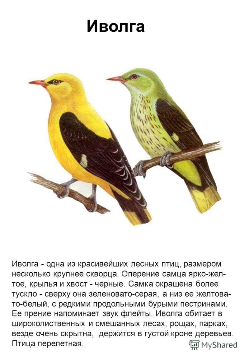 Иволга Иволга - одна из красивейших лесных птиц, размером несколько крупнее скворца. Оперение самца ярко-жел- тое, крылья и хвост - черные. Самка окрашена более тускло - сверху она зеленовато-серая, а низ ее желтова- то-белый, с редкими продольными б