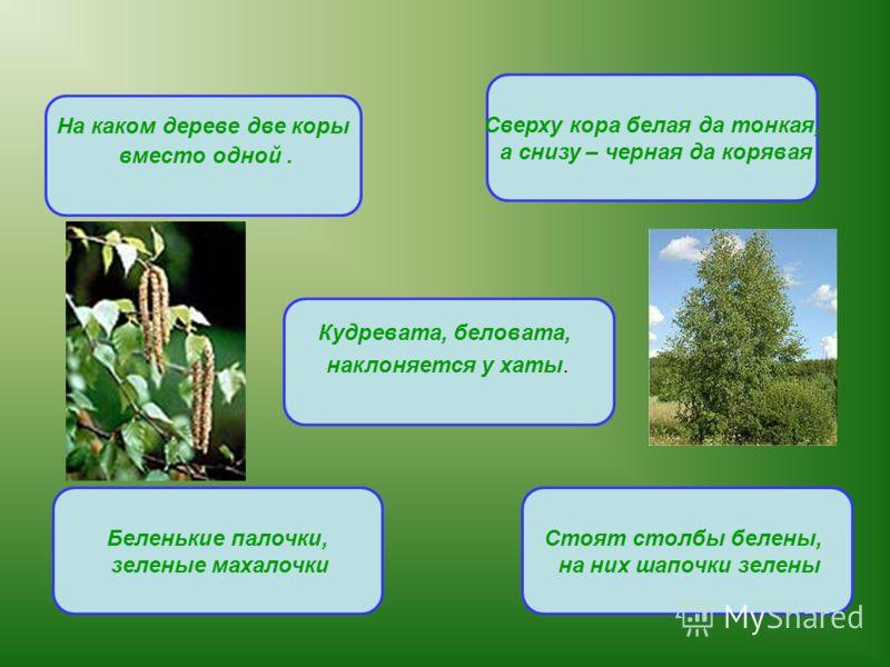 На каком дереве две коры вместо одной. Сверху кора белая да тонкая, а снизу – черная да корявая Стоят столбы белены, на них шапочки зелены Беленькие палочки, зеленые махалочки Кудревата, беловата, наклоняется у хаты.