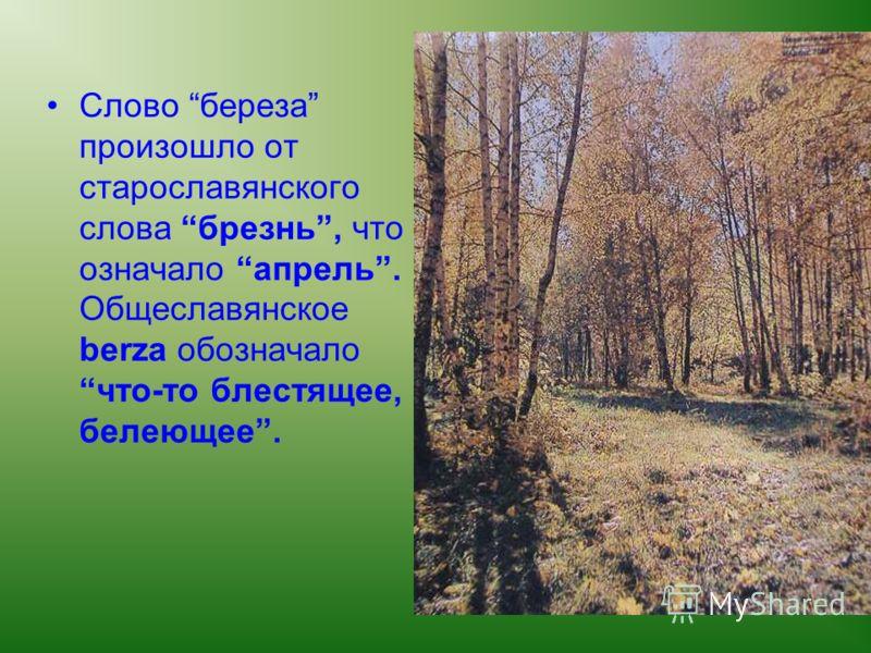 Слово береза произошло от старославянского слова брезнь, что означало апрель. Общеславянское berza обозначало что-то блестящее, белеющее.