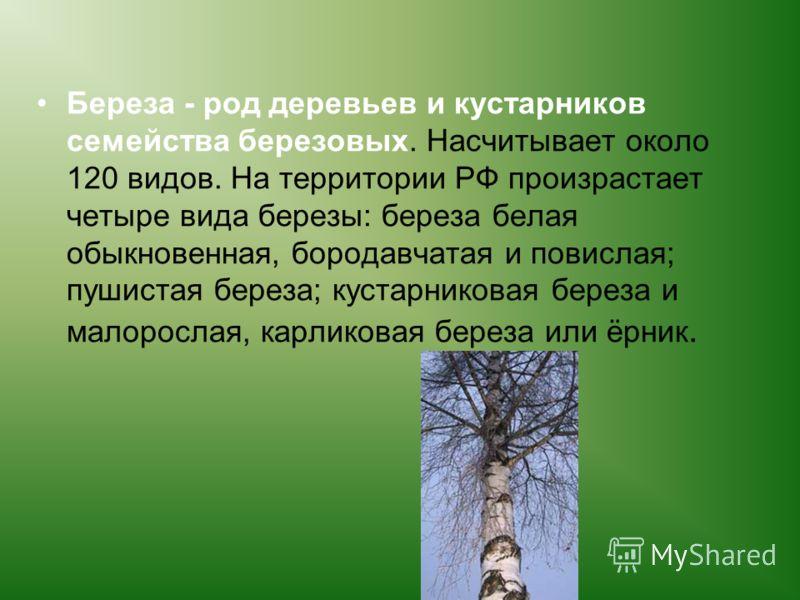 Береза - род деревьев и кустарников семейства березовых. Насчитывает около 120 видов. На территории РФ произрастает четыре вида березы: береза белая обыкновенная, бородавчатая и повислая; пушистая береза; кустарниковая береза и малорослая, карликовая
