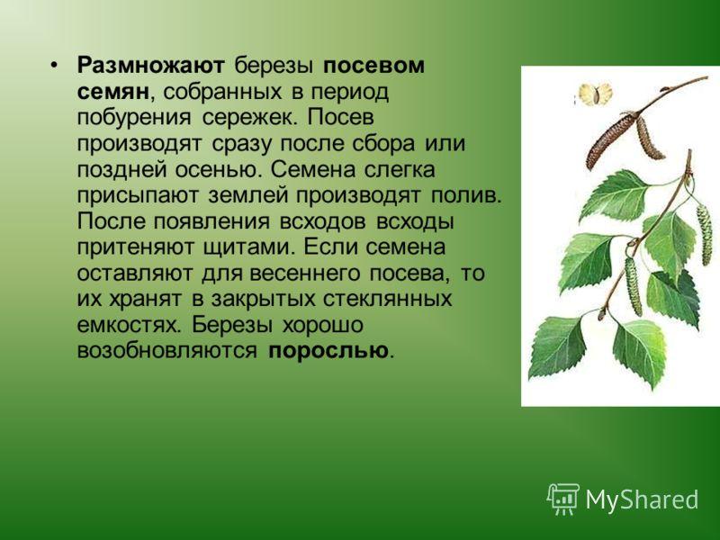 Размножают березы посевом семян, собранных в период побурения сережек. Посев производят сразу после сбора или поздней осенью. Семена слегка присыпают землей производят полив. После появления всходов всходы притеняют щитами. Если семена оставляют для