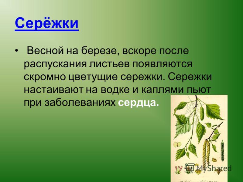 Серёжки Весной на березе, вскоре после распускания листьев появляются скромно цветущие сережки. Сережки настаивают на водке и каплями пьют при заболеваниях сердца.