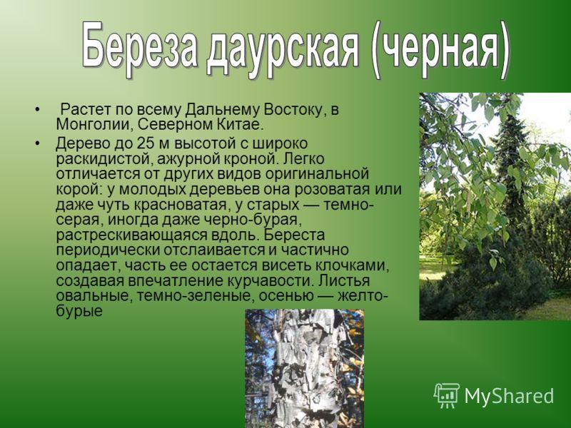 Растет по всему Дальнему Востоку, в Монголии, Северном Китае. Дерево до 25 м высотой с широко раскидистой, ажурной кроной. Легко отличается от других видов оригинальной корой: у молодых деревьев она розоватая или даже чуть красноватая, у старых темно