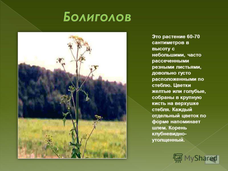 Это растение 60-70 сантиметров в высоту с небольшими, часто рассеченными резными листьями, довольно густо расположенными по стеблю. Цветки желтые или голубые, собраны в крупную кисть на верхушке стебля. Каждый отдельный цветок по форме напоминает шле