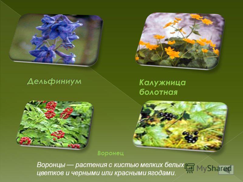Калужница болотная Воронец Воронцы растения с кистью мелких белых цветков и черными или красными ягодами.