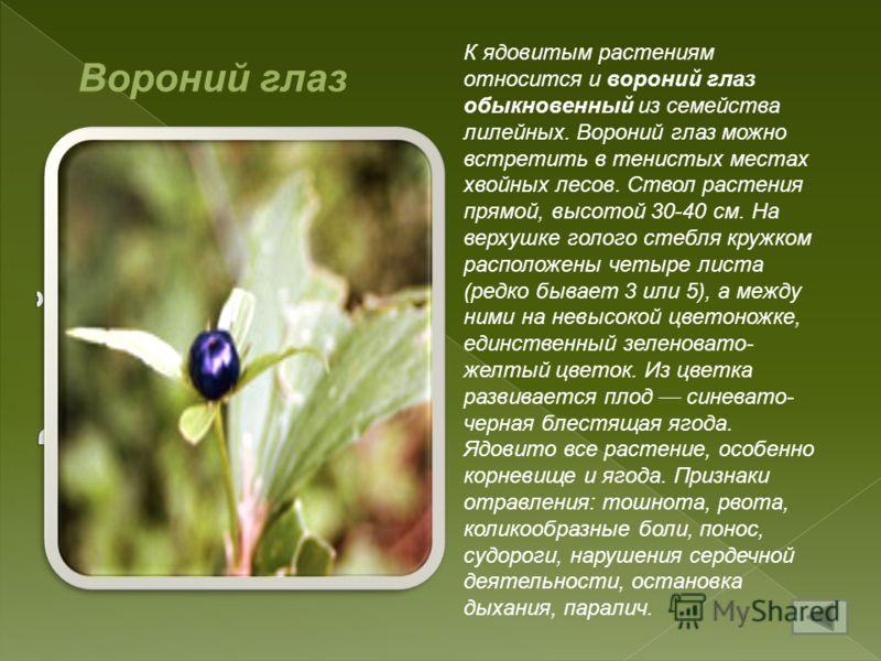К ядовитым растениям относится и вороний глаз обыкновенный из семейства лилейных. Вороний глаз можно встретить в тенистых местах хвойных лесов. Ствол растения прямой, высотой 30-40 см. На верхушке голого стебля кружком расположены четыре листа (редко