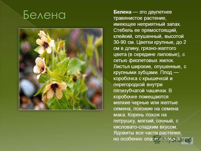 Белена это двулетнее травянистое растение, имеющее неприятный запах. Стебель ее прямостоящий, клейкий, опушенный, высотой 30-90 см. Цветки крупные, до 2 см в длину, грязно-желтого цвета (в середине лиловые), с сетью фиолетовых жилок. Листья широкие,