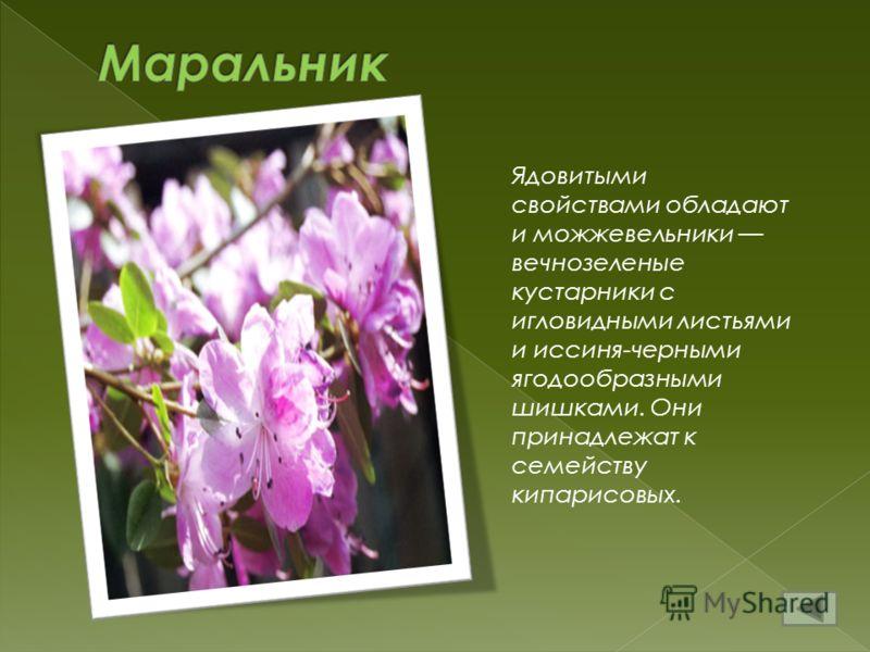 Ядовитыми свойствами обладают и можжевельники вечнозеленые кустарники с игловидными листьями и иссиня-черными ягодообразными шишками. Они принадлежат к семейству кипарисовых.