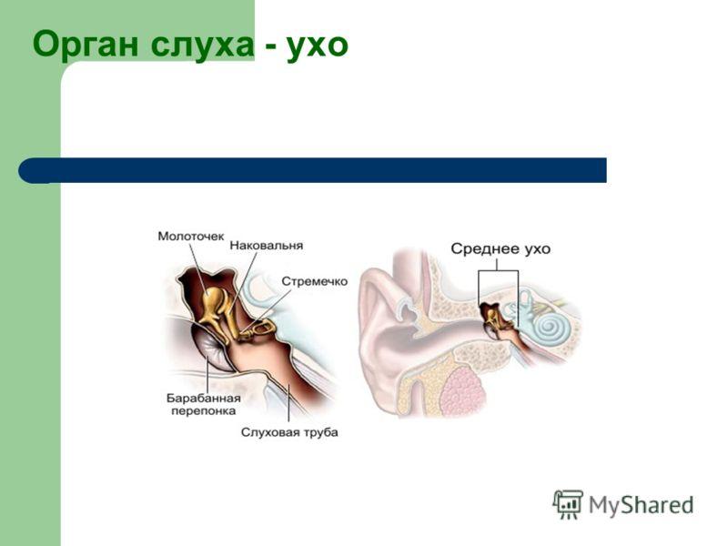 Орган слуха - ухо
