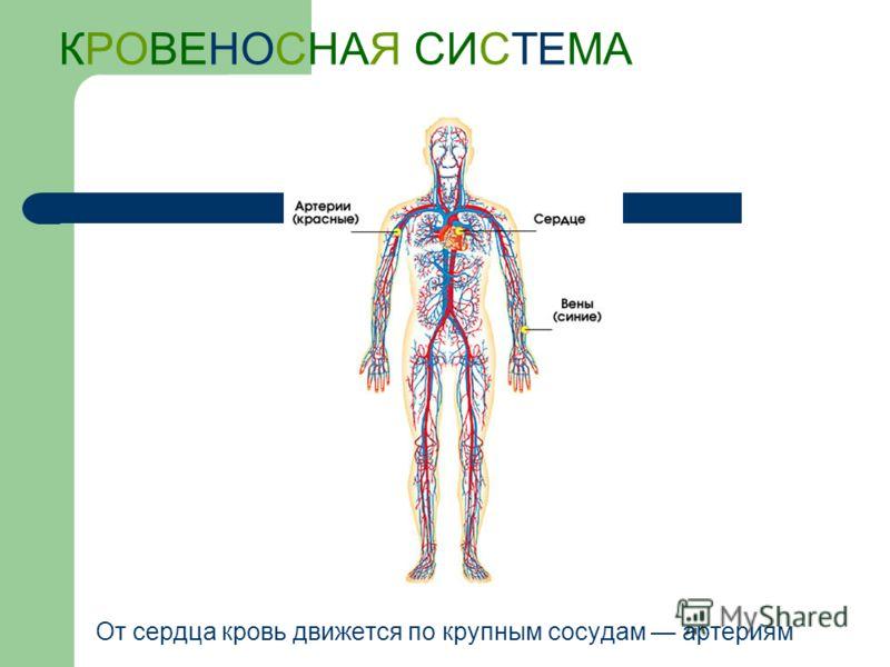 КРОВЕНОСНАЯ СИСТЕМА От сердца кровь движется по крупным сосудам артериям