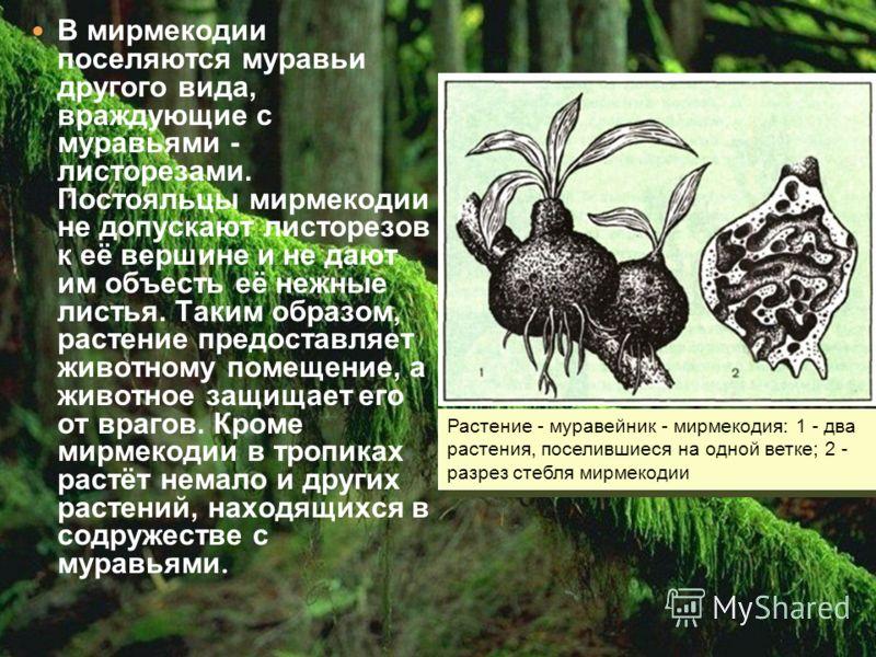 В мирмекодии поселяются муравьи другого вида, враждующие с муравьями - листорезами. Постояльцы мирмекодии не допускают листорезов к её вершине и не дают им объесть её нежные листья. Таким образом, растение предоставляет животному помещение, а животно