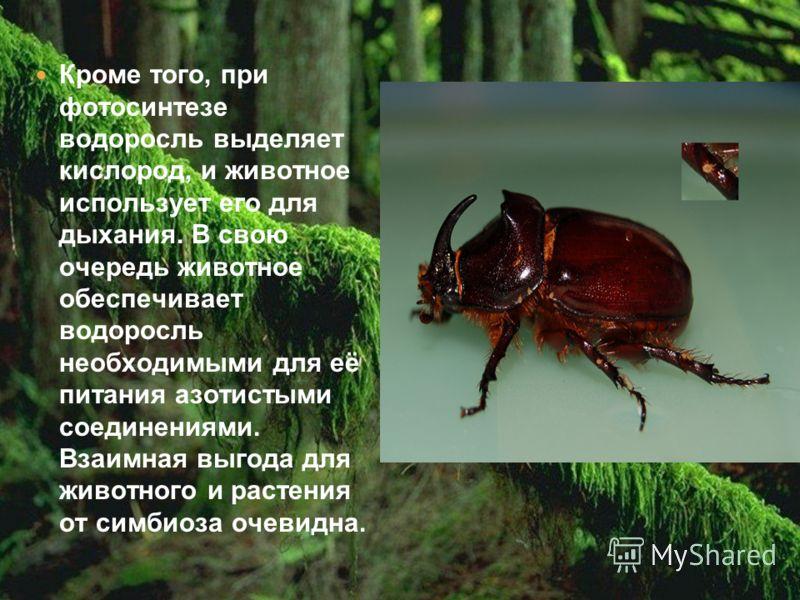 Кроме того, при фотосинтезе водоросль выделяет кислород, и животное использует его для дыхания. В свою очередь животное обеспечивает водоросль необходимыми для её питания азотистыми соединениями. Взаимная выгода для животного и растения от симбиоза о