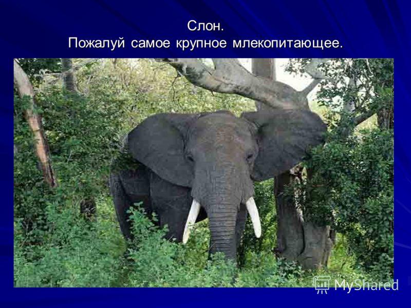 Слон. Пожалуй самое крупное млекопитающее.