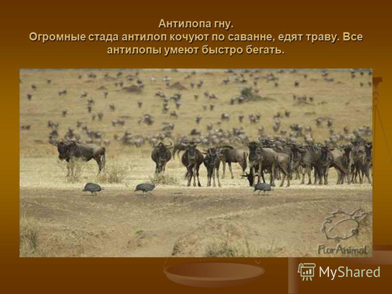 Антилопа гну. Огромные стада антилоп кочуют по саванне, едят траву. Все антилопы умеют быстро бегать.