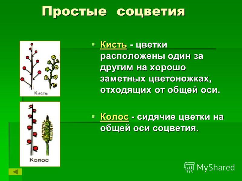 Простые соцветия Простые соцветия Кисть - цветки расположены один за другим на хорошо заметных цветоножках, отходящих от общей оси. Кисть - цветки расположены один за другим на хорошо заметных цветоножках, отходящих от общей оси. Колос - сидячие цвет