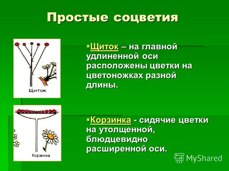 Щиток – на главной удлиненной оси расположены цветки на цветоножках разной длины. Щиток – на главной удлиненной оси расположены цветки на цветоножках разной длины. Корзинка - сидячие цветки на утолщенной, блюдцевидно расширенной оси. Корзинка - сидяч