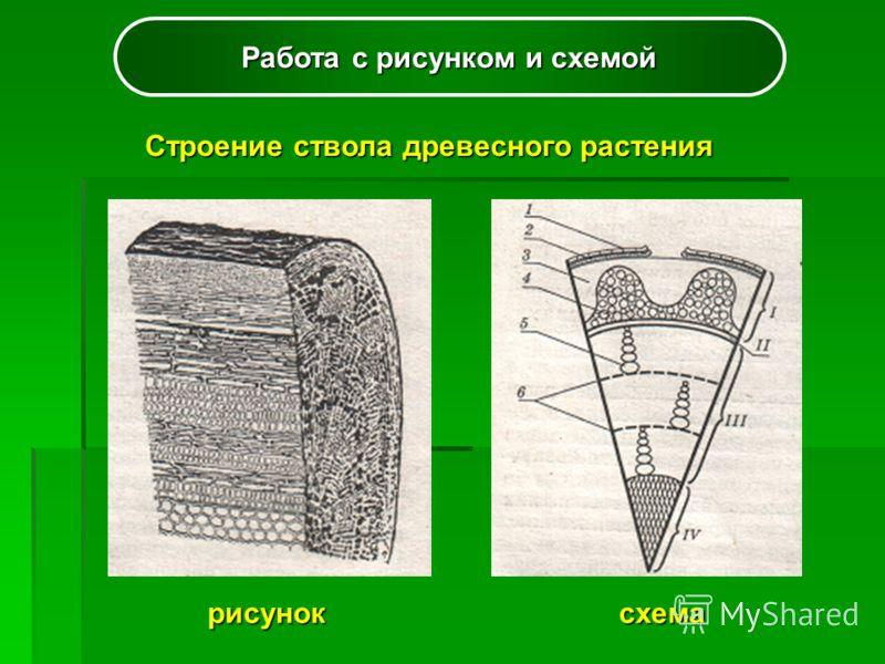 Работа с рисунком и схемой Строение ствола древесного растения рисуноксхема