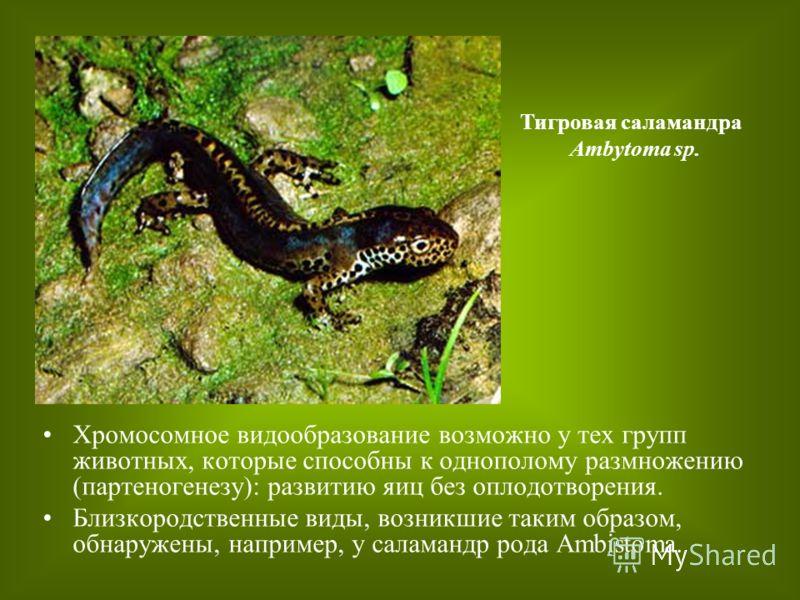 Хромосомное видообразование возможно у тех групп животных, которые способны к однополому размножению (партеногенезу): развитию яиц без оплодотворения. Близкородственные виды, возникшие таким образом, обнаружены, например, у саламандр рода Ambistoma.