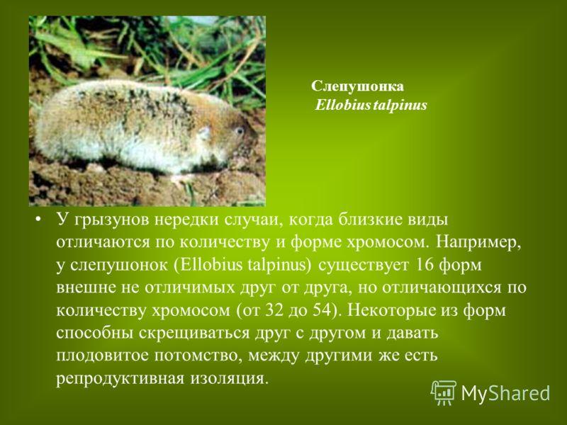 У грызунов нередки случаи, когда близкие виды отличаются по количеству и форме хромосом. Например, у слепушонок (Ellobius talpinus) существует 16 форм внешне не отличимых друг от друга, но отличающихся по количеству хромосом (от 32 до 54). Некоторые