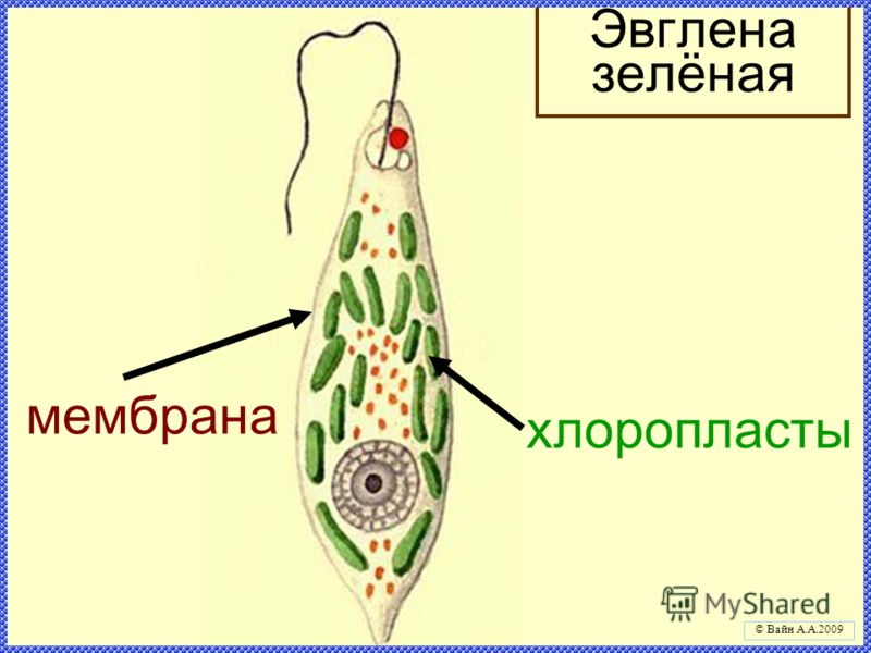 мембрана хлоропласты Эвглена зелёная © Вайн А.А.2009