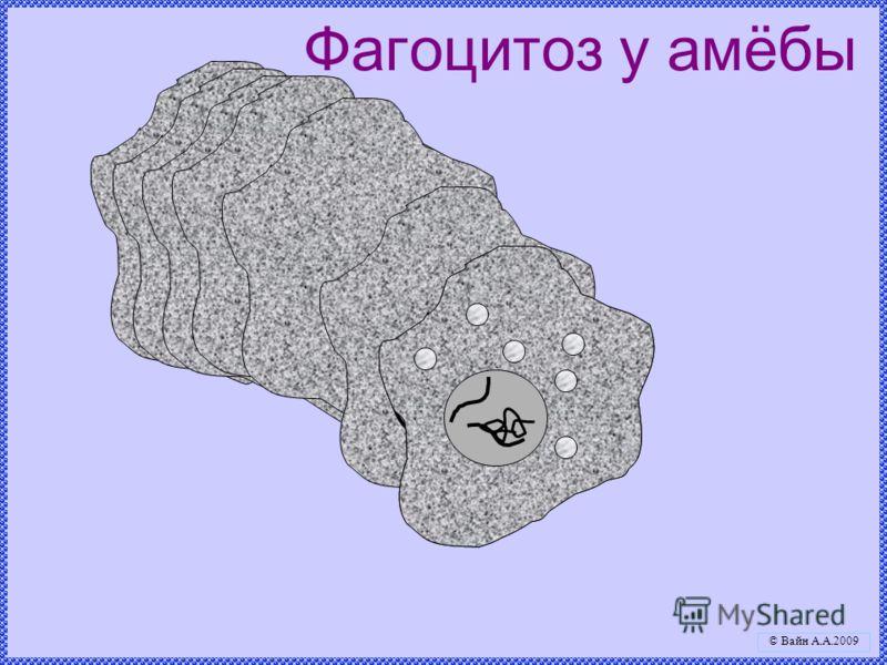 Фагоцитоз у амёбы © Вайн А.А.2009