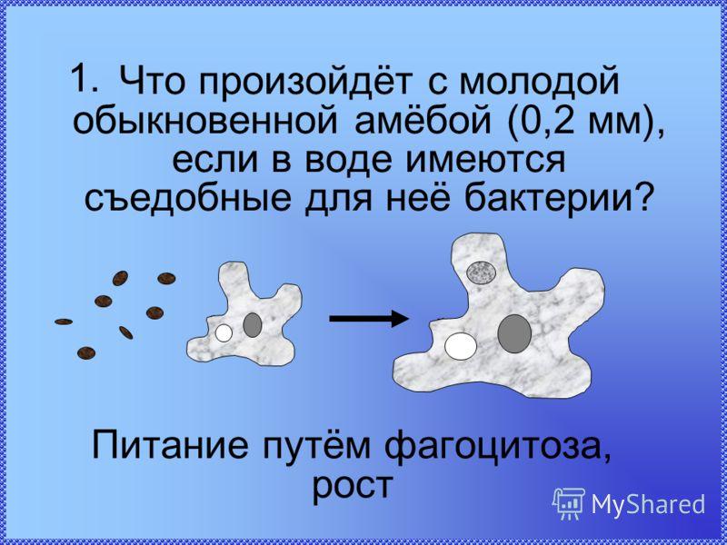 Что произойдёт с молодой обыкновенной амёбой (0,2 мм), если в воде имеются съедобные для неё бактерии? Питание путём фагоцитоза, рост 1.