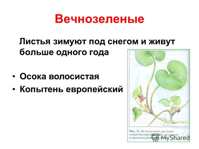 Вечнозеленые Листья зимуют под снегом и живут больше одного года Осока волосистая Копытень европейский