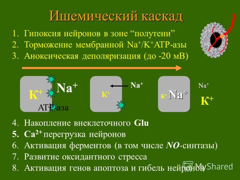 1.Гипоксия нейронов в зоне полутени 2.Торможение мембранной Na + /K + ATP-азы 3.Аноксическая деполяризация (до -20 мВ) 4.Накопление внеклеточного Glu 5.Ca 2+ перегрузка нейронов 6.Активация ферментов (в том числе NO-синтазы) 7.Развитие оксидантного с