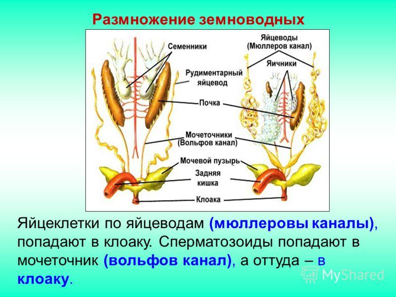 Яйцеклетки по яйцеводам (мюллеровы каналы), попадают в клоаку. Сперматозоиды попадают в мочеточник (вольфов канал), а оттуда – в клоаку. Размножение земноводных