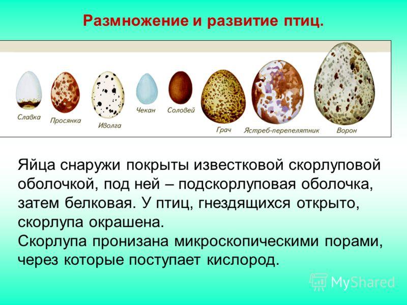 Размножение и развитие птиц. Яйца снаружи покрыты известковой скорлуповой оболочкой, под ней – подскорлуповая оболочка, затем белковая. У птиц, гнездящихся открыто, скорлупа окрашена. Скорлупа пронизана микроскопическими порами, через которые поступа