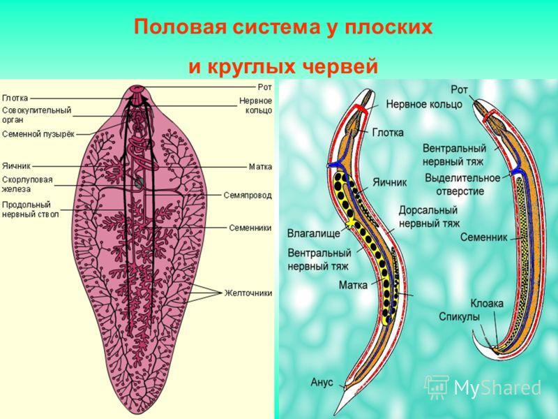 Половая система у плоских и круглых червей