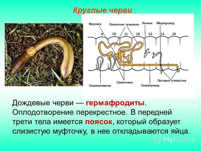 Дождевые черви гермафродиты. Оплодотворение перекрестное. В передней трети тела имеется поясок, который образует слизистую муфточку, в нее откладываются яйца. Круглые черви