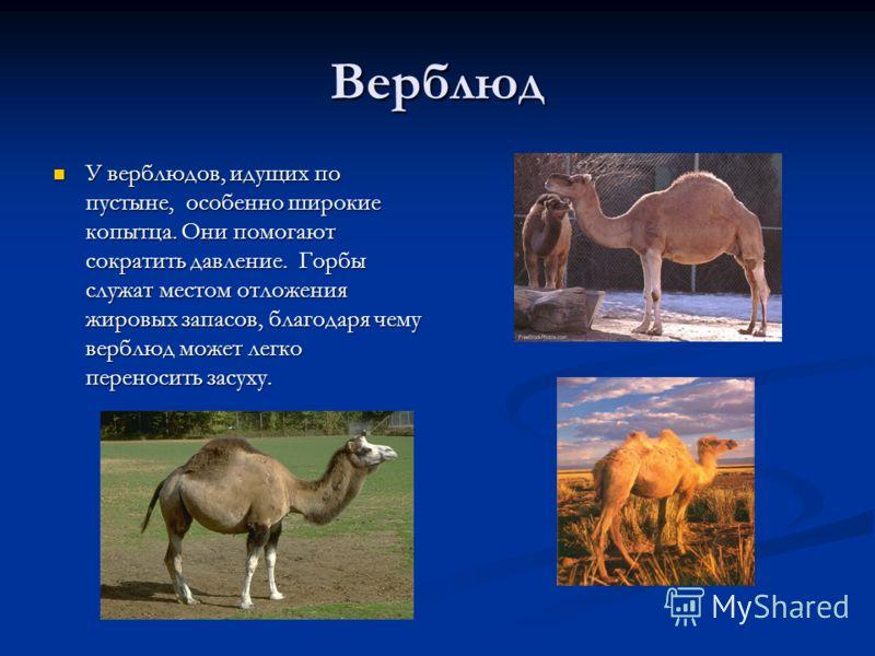 Верблюд У верблюдов, идущих по пустыне, особенно широкие копытца. Они помогают сократить давление. Горбы служат местом отложения жировых запасов, благ