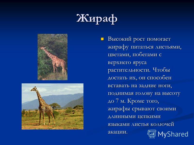 Жираф Высокий рост помогает жирафу питаться листьями, цветами, побегами с верхнего яруса растительности. Чтобы достать их, он способен вставать на зад