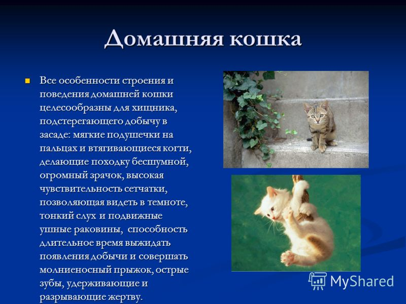 Домашняя кошка Все особенности строения и поведения домашней кошки целесообразны для хищника, подстерегающего добычу в засаде: мягкие подушечки на пальцах и втягивающиеся когти, делающие походку бесшумной, огромный зрачок, высокая чувствительность се
