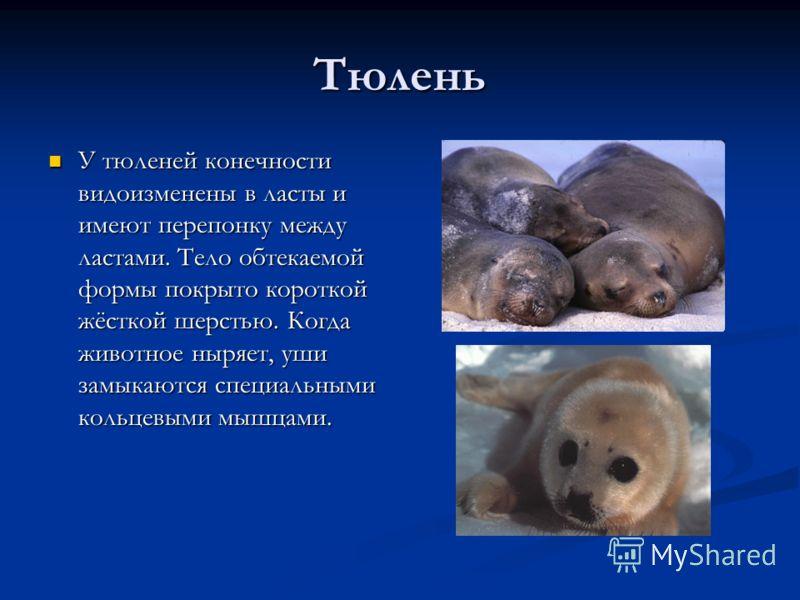 Тюлень У тюленей конечности видоизменены в ласты и имеют перепонку между ластами. Тело обтекаемой формы покрыто короткой жёсткой шерстью. Когда животное ныряет, уши замыкаются специальными кольцевыми мышцами. У тюленей конечности видоизменены в ласты