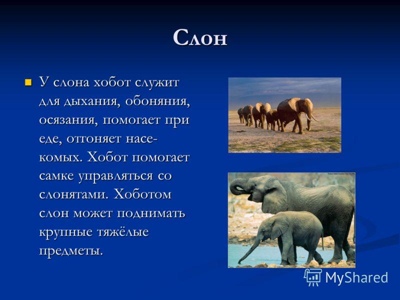 Слон У слона хобот служит для дыхания, обоняния, осязания, помогает при еде, отгоняет насе- комых. Хобот помогает самке управляться со слонятами. Хоботом слон может поднимать крупные тяжёлые предметы. У слона хобот служит для дыхания, обоняния, осяза